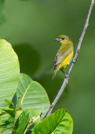 Thick-billed Euphonia_Fm