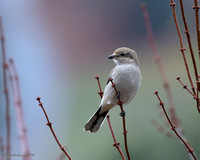 Northern Shrike_#1