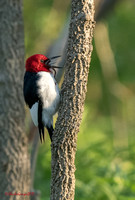 Red-headed Woodpecker_w/breakfast