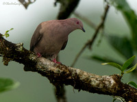 Short-billed Pigeon