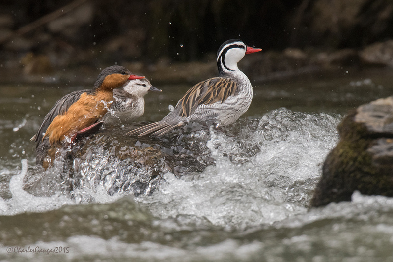 Torrent Duck Family